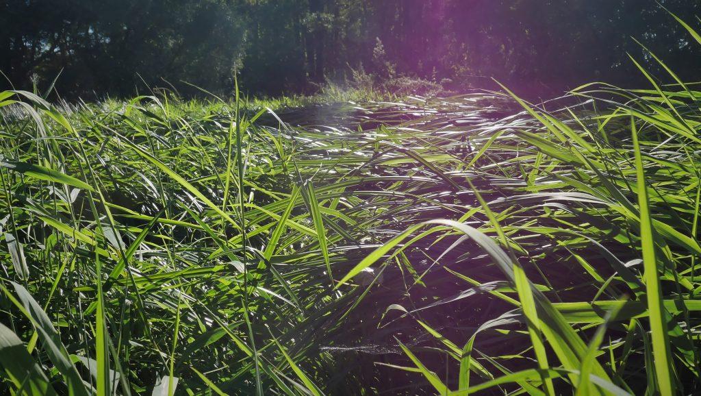 Auenlandschaft_Rohrglanzgras-Röhricht aus Verband des Magnocaricion (Großseggenried) - Foto. A. Heuwinkel-Otter
